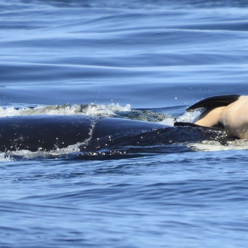 Tahlequah, Scarlet and the future of the southern resident orcas – a news update